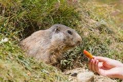 Torist feeds groundhog stock images