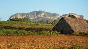 Tork för tobak i dalen av den Vinales Kuban arkivfoto