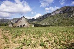 Tork för tobak i dalen av Vinales royaltyfri bild