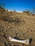 Torka benet av ett djur i den torra sydvästliga öknen Royaltyfri Bild