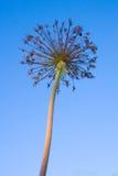 Torka blomman mot den blåa himlen Fotografering för Bildbyråer