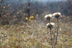 Torka blomman på en höstbakgrund Arkivfoto