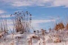 Torka blommor i snön Arkivfoto