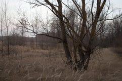 Torka bruna höstträd i den sena evenigskogen Royaltyfria Bilder