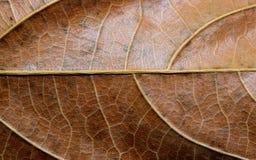 Torka den bruna bladcloseupen Foto för makro för höstbladtextur Gul bladådermodell Arkivbilder