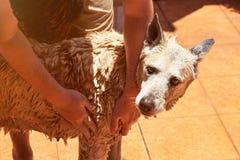 Torka den bruna stora hunden royaltyfria foton