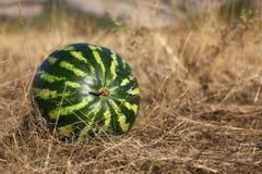 torka den liggande vattenmelonen för gräs Arkivbilder