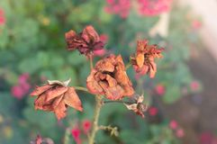 Torka den röda hund-rosen blomman i höstträdgård Royaltyfri Foto