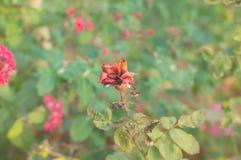 Torka den röda hund-rosen blomman i höstträdgård Fotografering för Bildbyråer