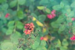 Torka den röda hund-rosen blomman i höstträdgård Arkivbild