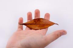 Torka det bruna bladet i hand Royaltyfria Bilder