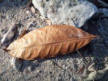Torka det bruna bladet som ligger på jordningen fotografering för bildbyråer