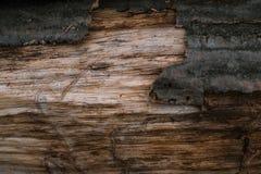 Torka det naturliga skället av wood bakgrund Arkivfoton