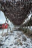 Torka flingor för lutfisktorskfisk i vinter Lofoten öar, royaltyfria bilder