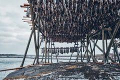 Torka flingor för lutfisktorskfisk i vinter Lofoten öar, royaltyfria foton