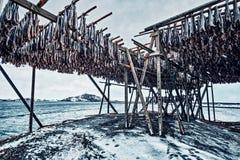 Torka flingor för lutfisktorskfisk i vinter Lofoten öar, arkivfoton