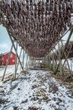 Torka flingor för lutfisktorskfisk i vinter Lofoten öar, royaltyfri foto