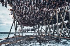 Torka flingor för lutfisktorskfisk i vinter Lofoten öar, arkivfoto