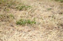 torka gräs royaltyfri bild