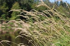 torka gräs Royaltyfri Fotografi