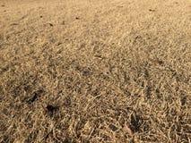 torka gräs Royaltyfria Bilder