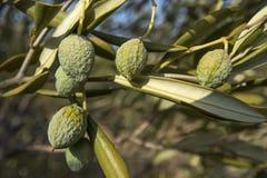Torka i olivgrönt fält Fotografering för Bildbyråer