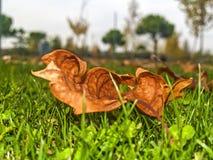 Torka leaves på gräset Arkivfoton