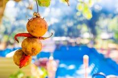 Torka limefrukt och peppar för röd chili arkivbild