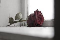 Torka och kalla rosor arkivbilder