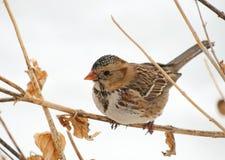 torka perched s sparrowen för blomma den harris Fotografering för Bildbyråer