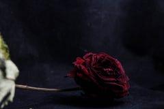 Torka rosa på en svart bakgrund Arkivbild