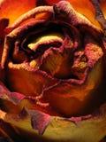 torka rose Royaltyfri Foto