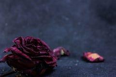torka rose Arkivfoto