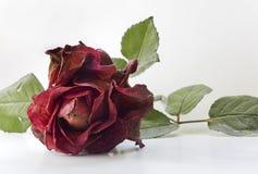 torka rose Royaltyfri Fotografi