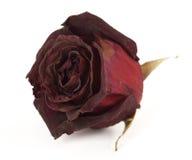 torka rose royaltyfria bilder