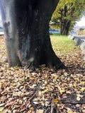 Torka sidor som är stupade på jordning runt om stort träd arkivbild