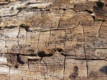 Torka skället av en oaktree royaltyfri bild