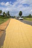 Torka skörden av ris på körbanan av vägen Sri Lanka royaltyfri bild