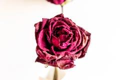 Torka upp det rosa slutet Royaltyfri Bild