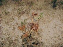 torka växten Fotografering för Bildbyråer