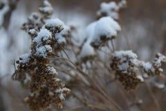 Torka växten i snön arkivbilder