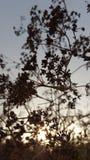 Torka växten i solnedgången Fotografering för Bildbyråer