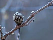 Torka växten med rimfrost Arkivfoton