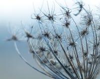 Torka växten som fotograferas i vinter Arkivbild