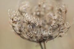 Torka växten som fotograferas i vinter Royaltyfria Bilder