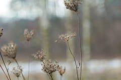 Torka växten som fotograferas i vinter Royaltyfri Fotografi