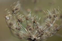 Torka växten som fotograferas i vinter Royaltyfri Foto