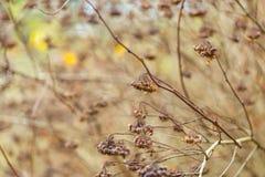 Torka växten som fotograferas i vinter Fotografering för Bildbyråer