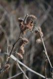 Torka växter med filialen med den torra naturen Royaltyfri Foto