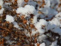 Torka växter som täckas beautifully med snö Royaltyfri Fotografi